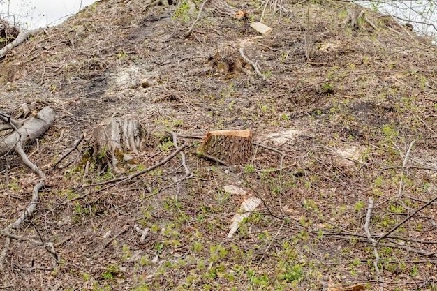 晴れた日の松林の開発。切り株とログは、乱獲が森林破壊を危険にさらす環境と持続可能性につながることを示しています