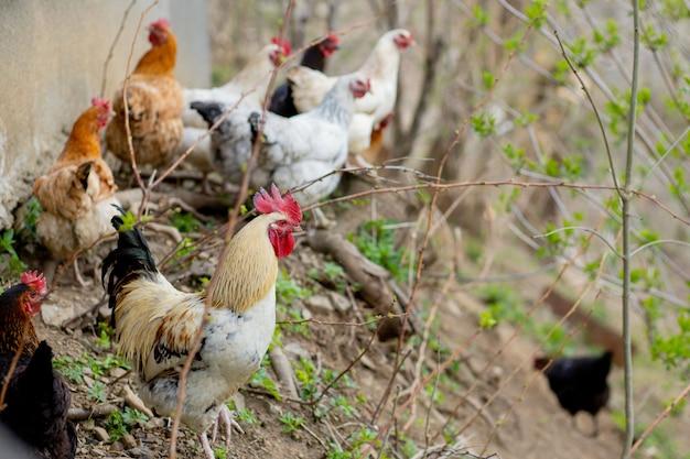 緑豊かなパドックを自由に歩き回る鶏の群れ