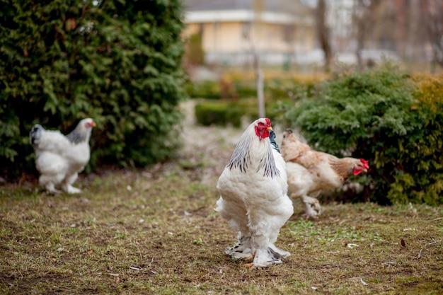 Выращенные здоровые белые курицы на зеленой траве снаружи в сельском дворе на старый деревянный сарай стены фон весной на яркий солнечный день. концепция птицеводства, здорового производства мяса и яиц