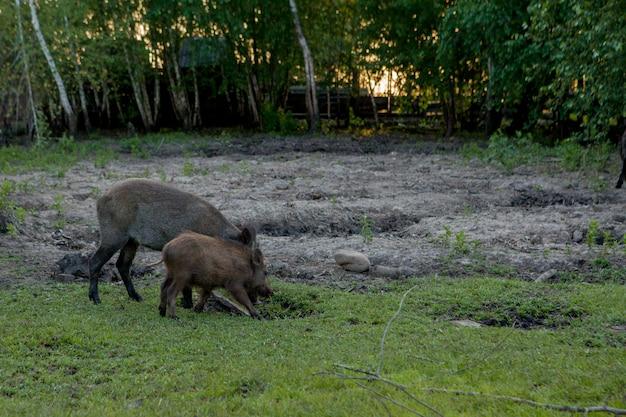 いぼの家族のグループは、一緒に草食を食べて放牧します。