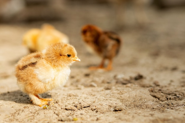 Портрет пасхального маленького пушистого желтого цыпленка гуляет во дворе поселка в солнечный весенний день