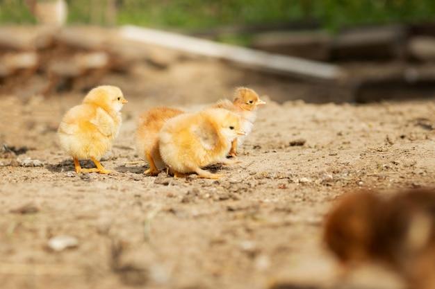 Портрет пасхальных маленьких пушистых цыплят гуляет во дворе на дворе фермы в солнечный весенний день
