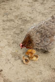 農場でその雛と母鶏のクローズアップ。ひな鶏の編