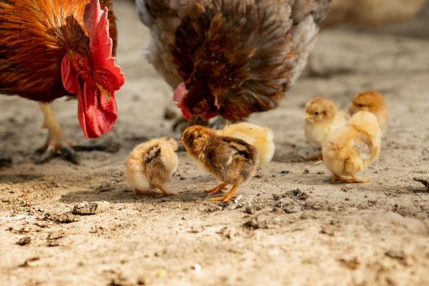 Крупный план цыпленка матери со своими цыпленоками младенца на ферме. курица с курами