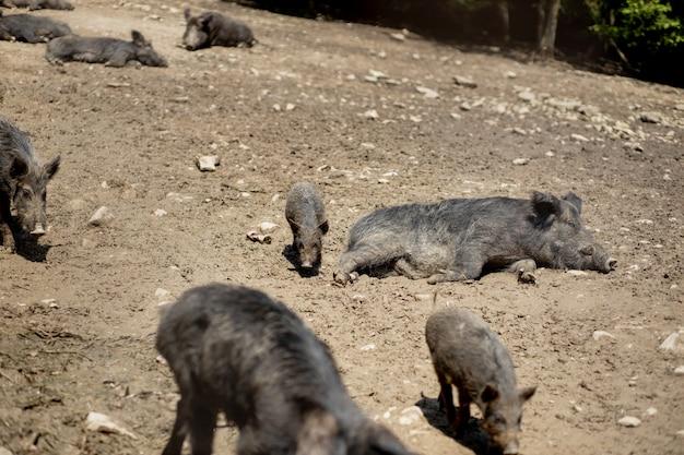 Симпатичные черные дикие свиньи, лежащие в болоте.