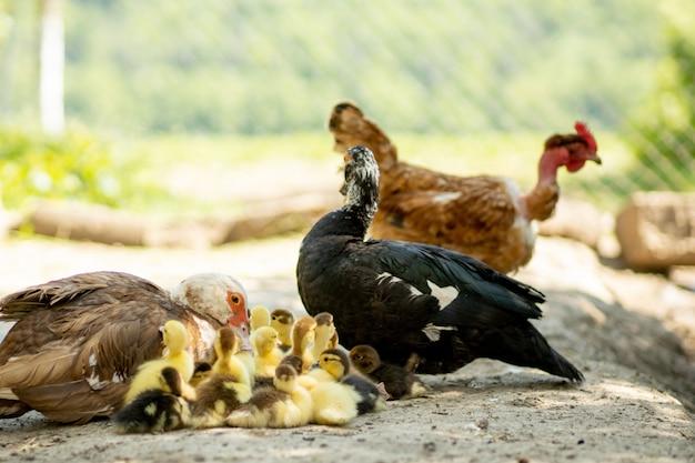 Мать утка со своими утятами