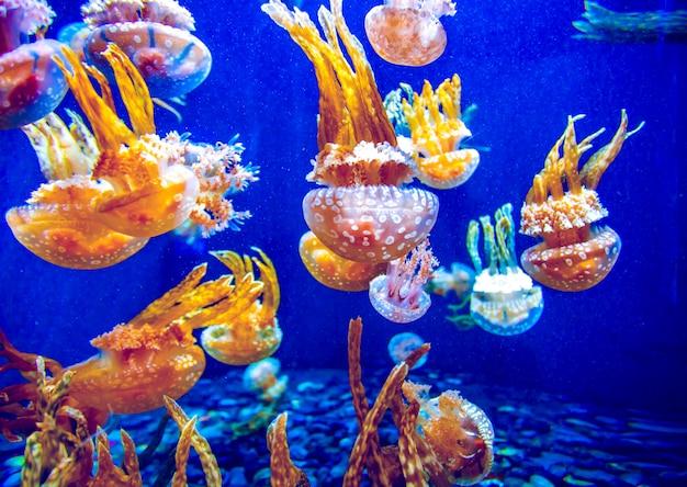 Оранжевая медуза