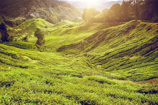 茶畑。自然な風景