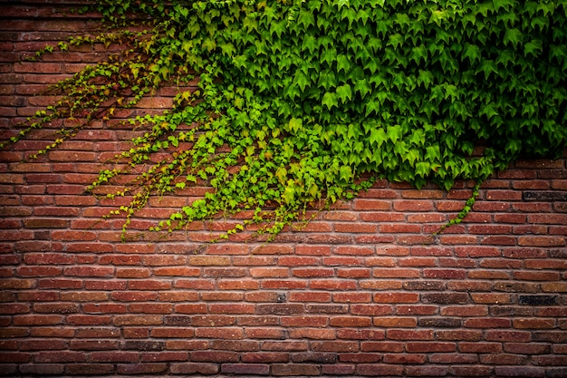 古い赤レンガの壁のテクスチャと緑の葉