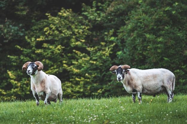 草の上のクローズアップアイリッシュビッグホーン羊。