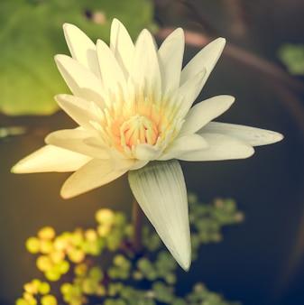 ロトスの花