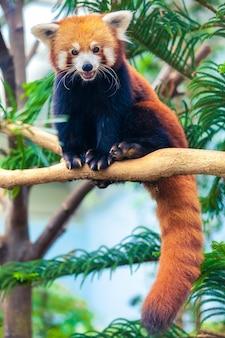 赤いパンダ