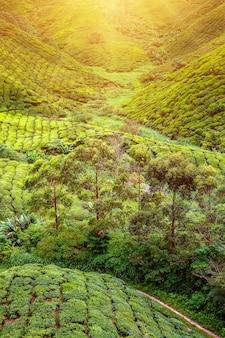 Чайная плантация. натуральный пейзаж