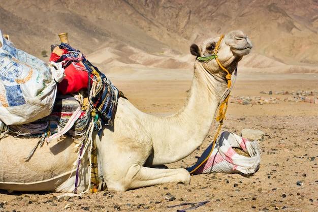 エジプトの砂漠で休んで疲れたラクダ