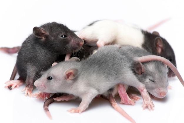 Симпатичные маленькие крысы