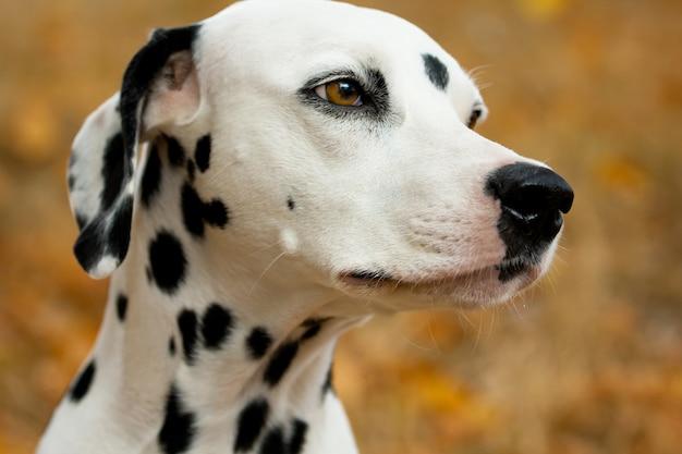 Далматинская собака