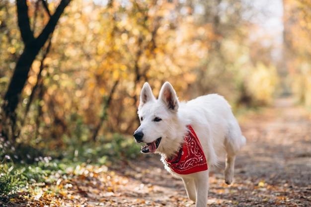 秋の公園で歩く白い犬