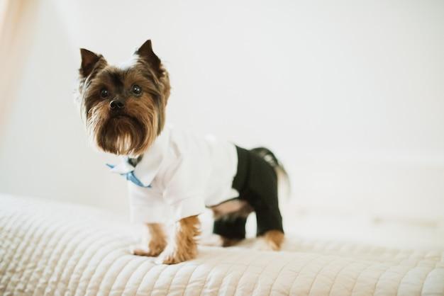 Коричневая собака, одетая в черные брюки и белую рубашку