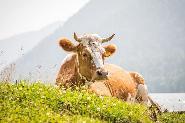 牛は牧草地にあります
