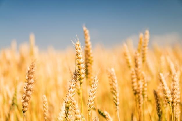 小麦のクローズアップの熟した黄金の小穂