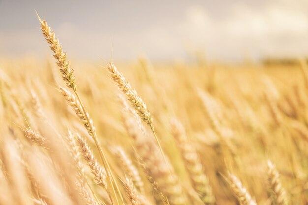 小麦のクローズアップの熟した耳が風に曲がる