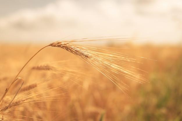 ライ麦のクローズアップの熟した黄金の小穂