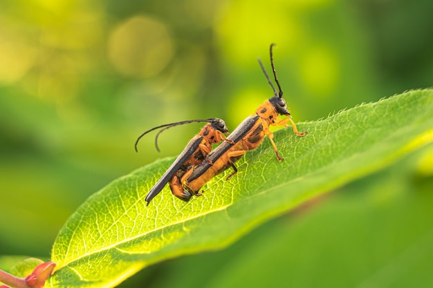 Два жука мат на зеленом листе.