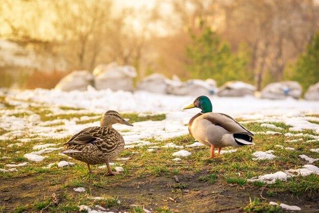 Две дикие утки весной на тающем снегу