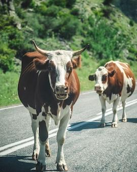 道路上の牛