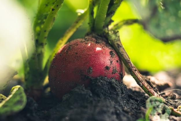 土壌中の有機農場大根。庭のベッドに大根のクローズアップ。