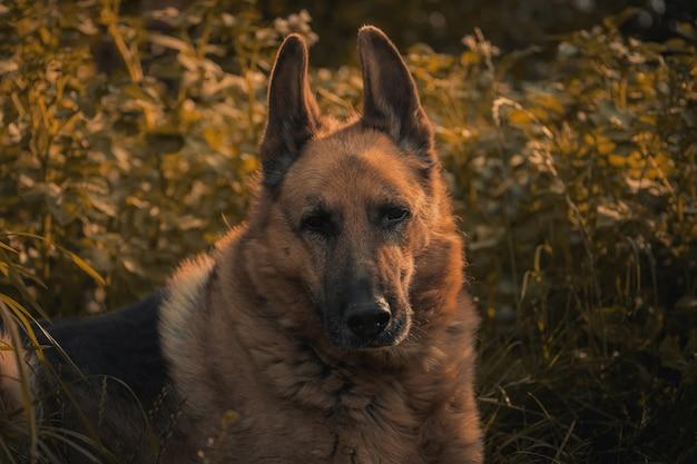 悲しい犬の肖像画。悲しいジャーマンシェパード。機嫌が悪いコンセプト。