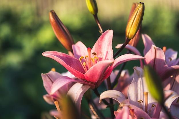 庭のピンクのユリの花。ユリの花のクローズアップ。
