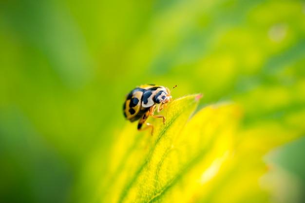 花のてんとう虫。緑の草のクローズアップに小さな黄色のカブトムシ。