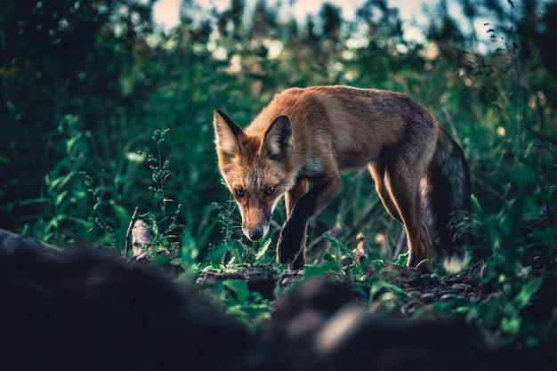 森の中の美しい野生のレッドフォックス