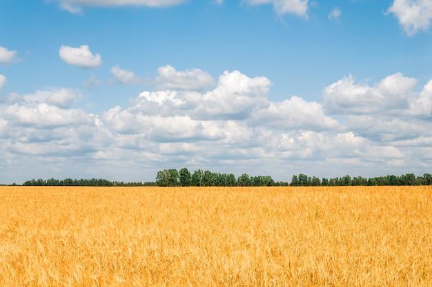 麦畑と青い空