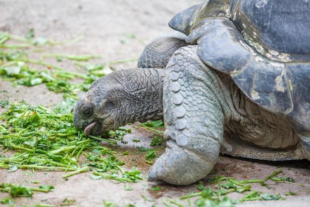 Еда галапагосской черепахи