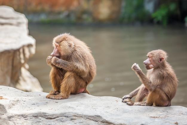 赤ちゃんと長い鼻テング猿