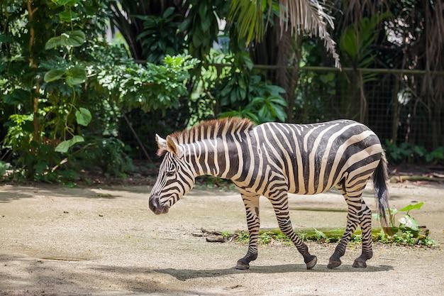 動物園でシマウマを歩く