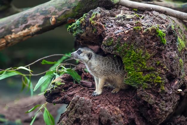 キュリオスミーアキャットは、木のくぼみに生息しています