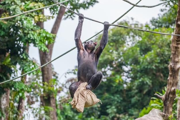 彼女の手にバッグを持つロープでチンパンジー