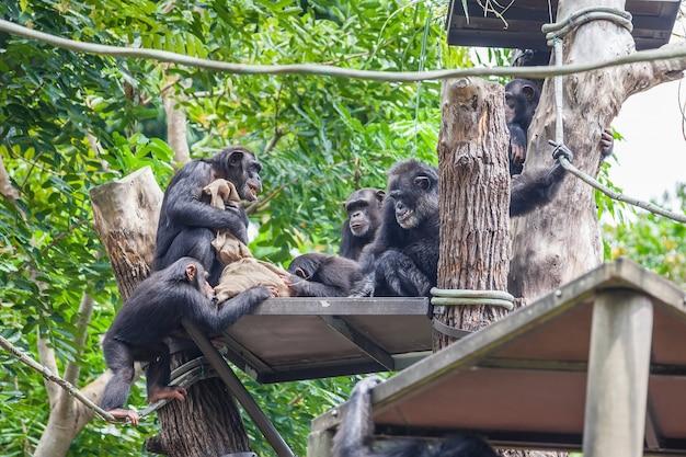 一緒に座っているチンパンジーのグループ