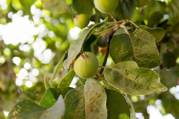 Маленькие зеленые яблоки на дереве на солнце