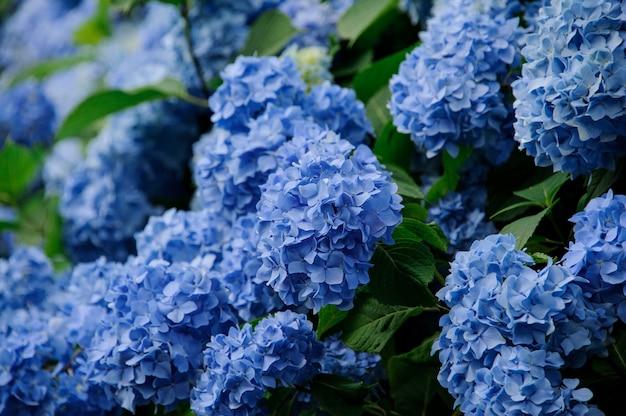 青いアジサイの美しい緑の茂みの写真をクローズアップ