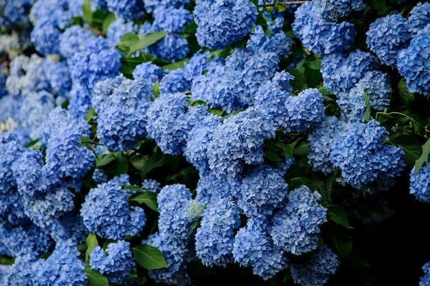 青いアジサイの美しい巨大な茂みのショットを閉じる