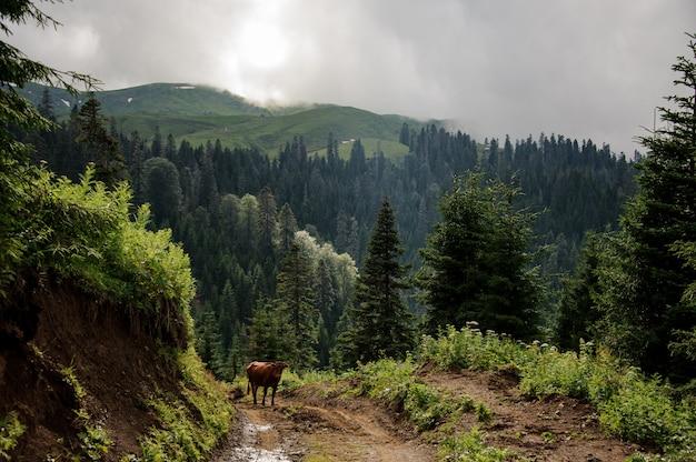 Коричневая корова идет в гору на фоне гор