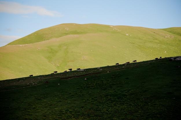 牛が放牧する緑の芝生の丘の背景