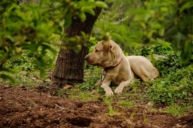 Милая светлая рыжая собака смотрит сбоку сидя на поводке возле дерева