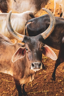 インドの酪農、インドの牛
