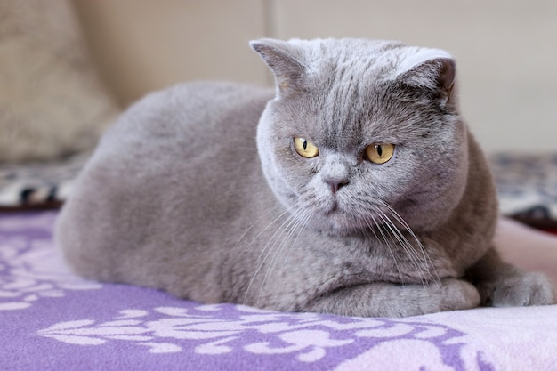ブリティッシュショートヘアの猫はベッドの上に座って周りを見回す