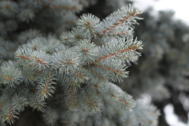 冬の都市公園における霜のクローズアップとスプルースの枝
